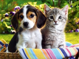 beagle-puppy-and-silver-tabby-kitten