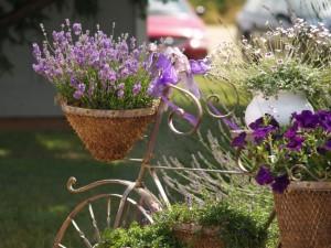 lavender_big