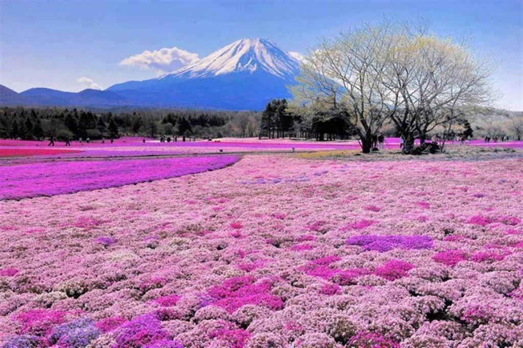 Fuji Shibazakura 2 (Medium)