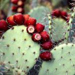 Актуально: prickly pear seed oil или масло семян индийской опунции